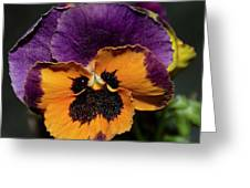 Pansie Greeting Card