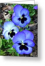 Pansies 0823 Greeting Card