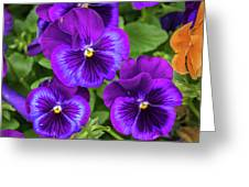 Pansies In Purple And Blue Greeting Card