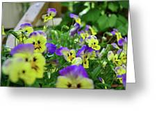 Pansy Bed Greeting Card