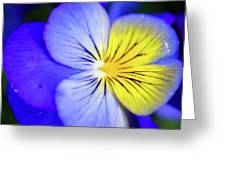 Pansy Close-up Square Greeting Card
