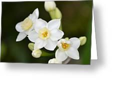 Paperwhites - Narcissus Papyraceus Greeting Card