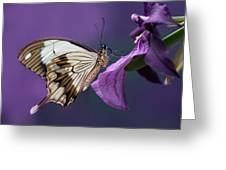 Papilio Dardanus On Violet Flowers Greeting Card