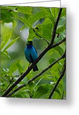 Paradise Tanager Greeting Card