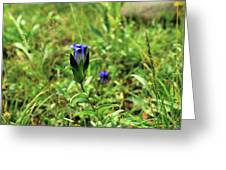 Parry's Mountain Gentian Greeting Card