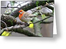 Partial-migrator House Finch Greeting Card