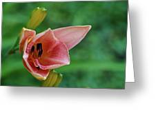 Partially Open Pink Lily Blossom Greeting Card