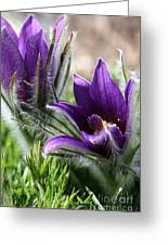 Pasque Flower Duo Greeting Card