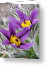 Pasque Flower Friends Greeting Card