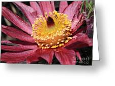 Pasque Flower Macro Greeting Card