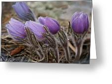 Pasque Flower Watercolor Greeting Card