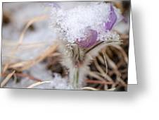Pasqueflower In The Snow Greeting Card