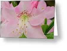 Pastel Pink  Azalea Greeting Card