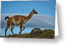 Patagonian Guanaco - Chile Greeting Card