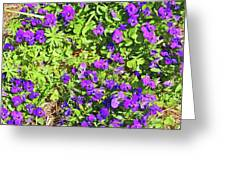 Patch Of Pansies Greeting Card