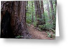 Pathway Through A Redwood Forest On Mt Tamalpais Greeting Card