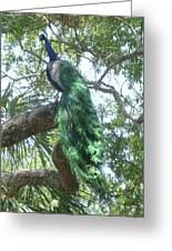 Peaceful Peacock Greeting Card