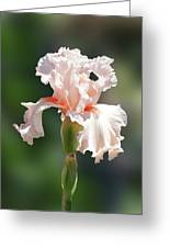 Peach Bearded Iris 2 Greeting Card