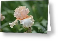 Peach Color Iris Greeting Card