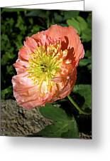 Peach Colored Poppy Greeting Card