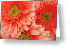 Peach Gerbers Greeting Card