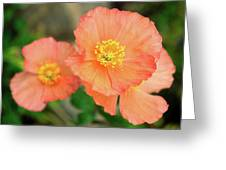 Peach Poppies Greeting Card