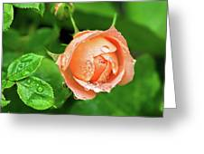 Peach Rose In The Rain Greeting Card