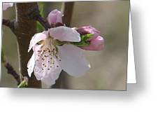 Peach Tree 3 Greeting Card