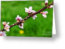 Peach Tree Blossoms Greeting Card