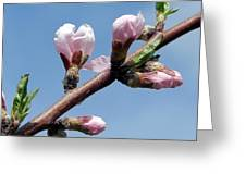 Peach Tree Greeting Card