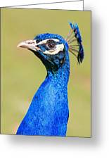 Peacock - 2 Greeting Card
