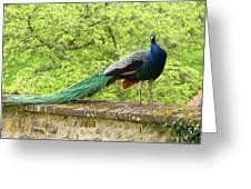 Peacock, Chateau De Saint-germain-de-livet Greeting Card
