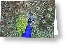 Peacock Colors Greeting Card
