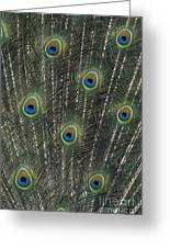 Peacock Feathers Greeting Card