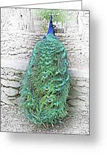 Peacock Fluffy Tail Color Sketch Greeting Card