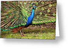 Peacock In Beacon Hill Park Greeting Card