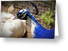 Peacock Love Greeting Card