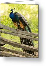 Peacock On Fence Greeting Card