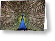 Peacock Plumage Greeting Card