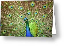 Peacock Showing Off Greeting Card