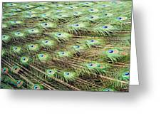 Peacock Tail Feathers  Greeting Card