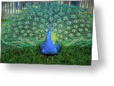 Peacock1 Greeting Card