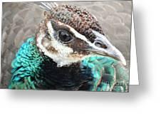 Peacocks Eye View Greeting Card