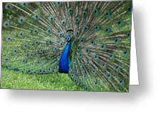 Peacocks Glory Greeting Card