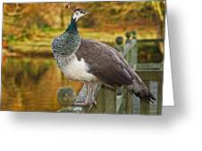 Peahen In Autumn Greeting Card