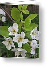 Pear Blossoms In Full Bloom Greeting Card
