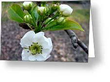 Pear Tree Blossom 3 Greeting Card
