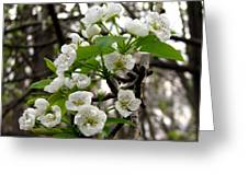Pear Tree Blossoms 2 Greeting Card