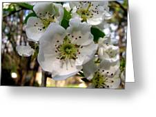 Pear Tree Blossoms 3 Greeting Card