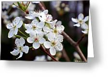 Pear Tree Blossoms II Greeting Card